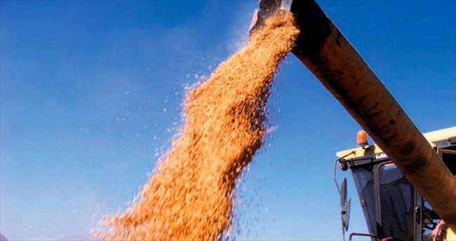 Buğday rekora koşuyor