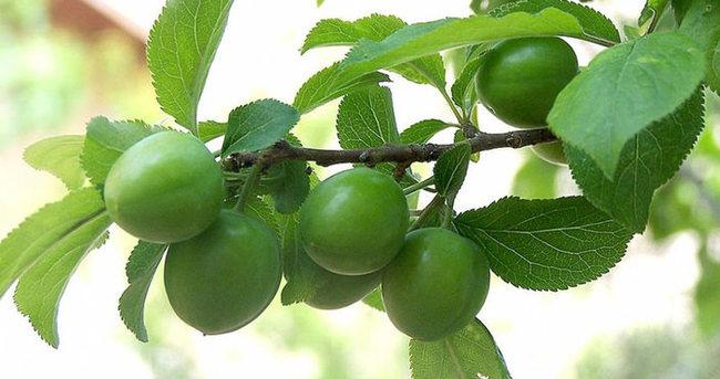 Diyet yapanların vazgeçilmez meyvesi