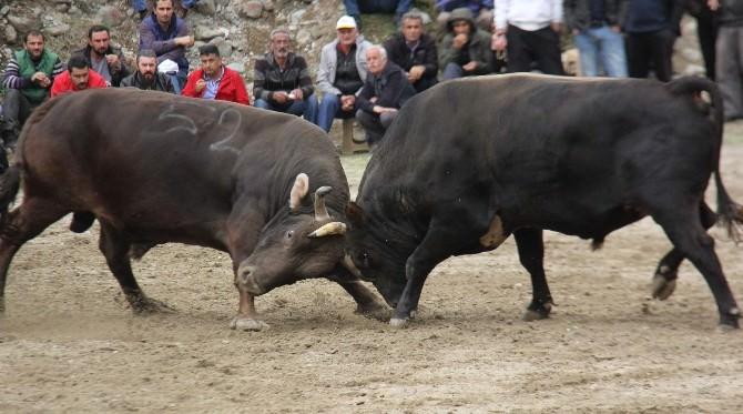 Ayder Yaylası'nda Önce Boğalar Güreşti Ardından Pasta Savaşı Yaşandı
