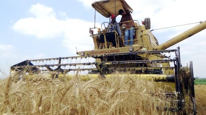 Buğday Üreticisini Sevindirdi