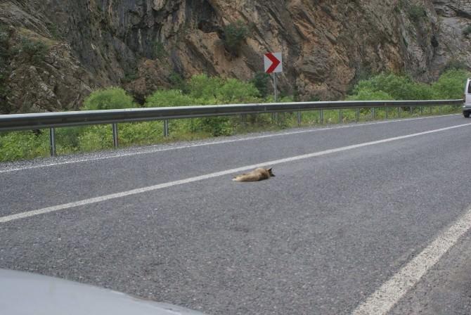 Hız Yapan Sürücüler Yaban Hayvanlara Zarar Veriyor