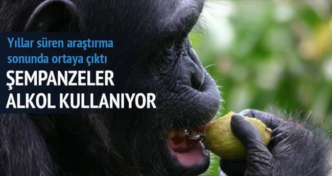 Şempanzeler de alkol kullanıyor