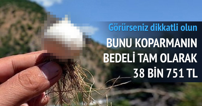 Tunceli sarımsağı koparana 38 bin TL ceza