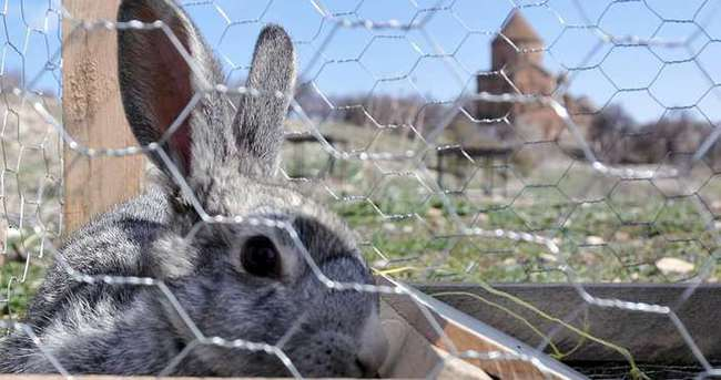 Akdamar Adası'nda tavşan temizliği!
