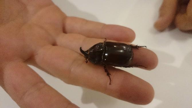 Dünyanın En Değerli Böceği Ayağına Geldi