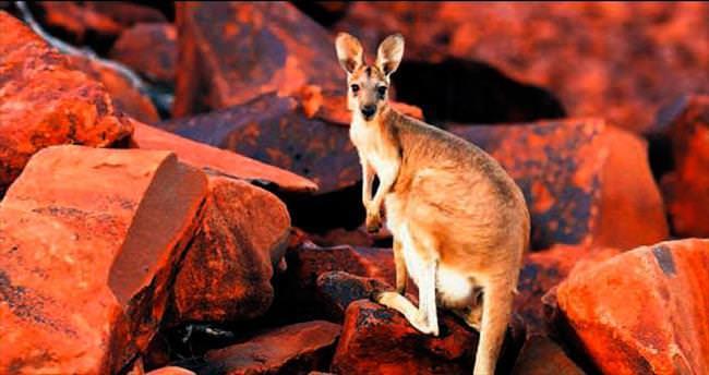Kanguruların çoğu solakmış!