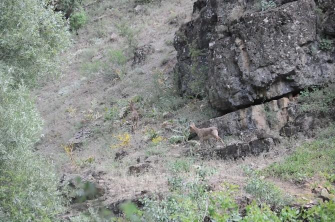 Yaban Dağ Keçileri Bu Defa Şehrin Yakınlarında Görüntülendi