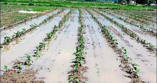 Yağmur pamuk tarlalarına zarar verdi