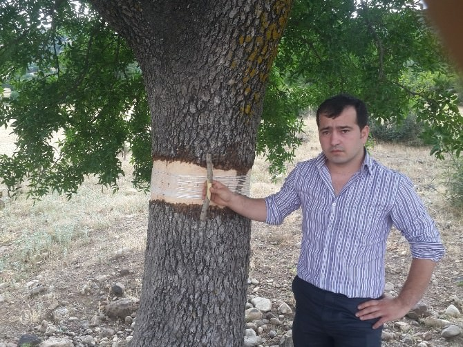 Melengiç Ağaçları Antep Fıstığı Verecek