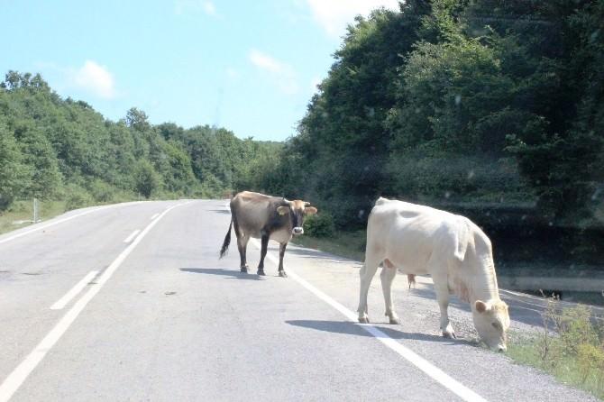 Tatilcilerin Kullandığı Yolun Kenarında Otlayan Hayvanlar Trafiği Olumsuz Etkiliyor