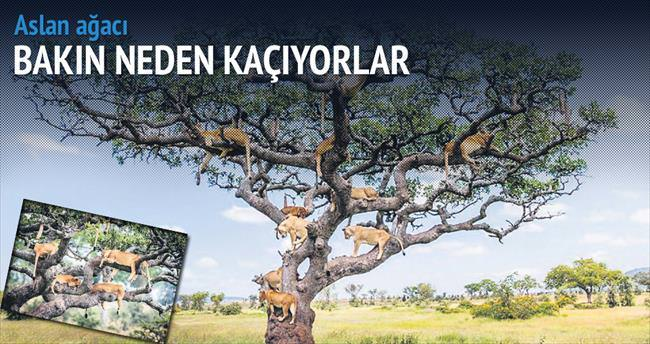 Tanzanya'nın 'aslan ağacı'