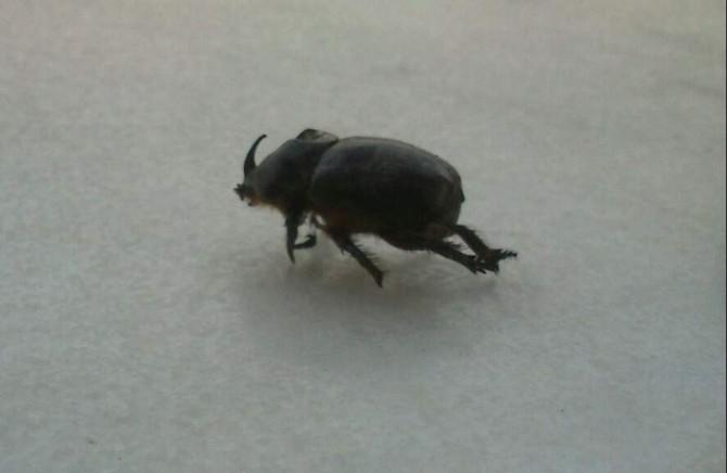 Bir Gergedan Böceği De Aydın'da Bulundu