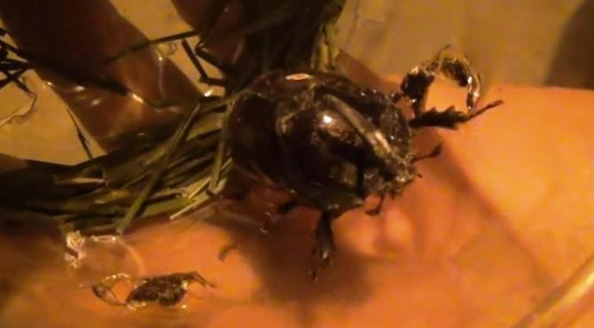 Bulduğu Gergedan Böceğini Jandarmaya Teslim Etti