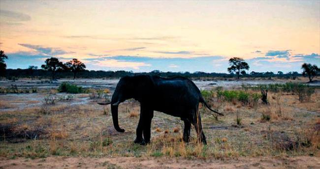 Zimbabwe 20 fili Çin'e gönderdi