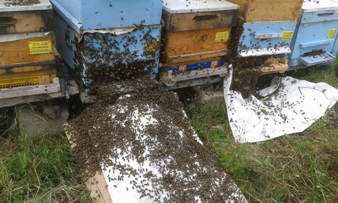 Aşırı Yağışlar Arıların Oğul Verme Sayısını Artırdı