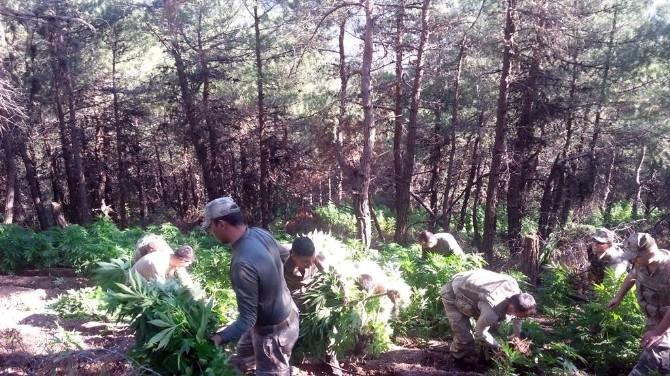 Hatay'da 12 Bin 240 Kök Kenevir Bitkisi Ele Geçirildi