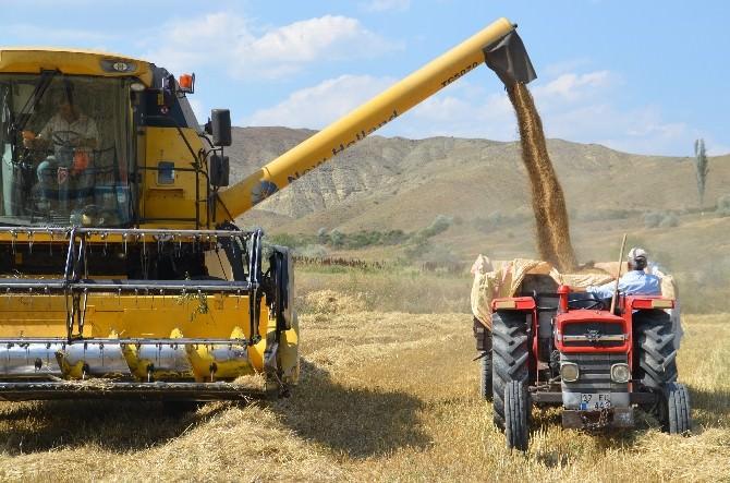 40 Derece Sıcakta Buğday Hasadı