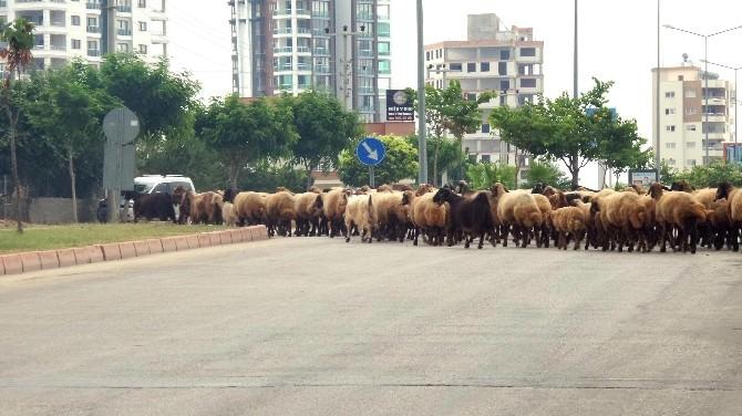 Mersin'de Kent İçinde Kümes Ve Ahırda Hayvan Besleyenlere Cezai İşlem