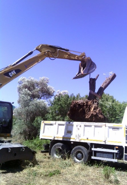 Foça'da Ağaçlar Kesilmedi, Taşındı
