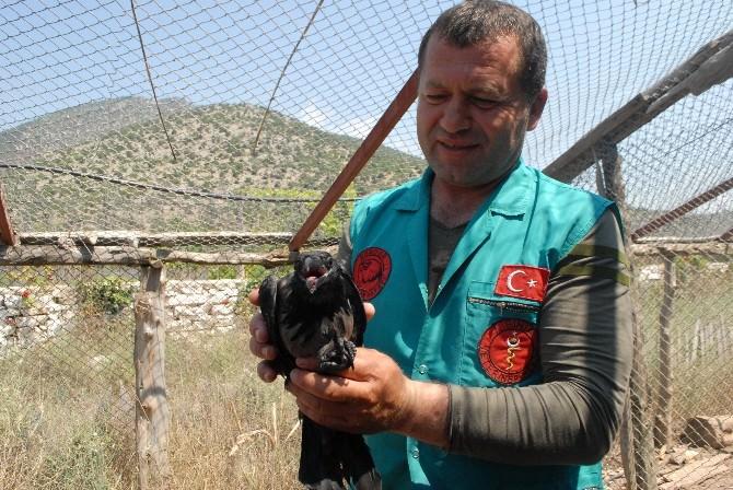 Konuşturulmaya Çalışılan Karga Rehabilitasyona Alındı