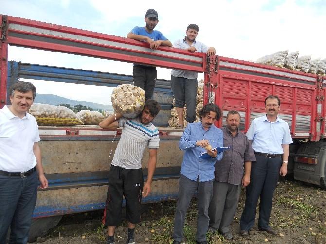 Niksar'da Patates Hasadı Devam Ediyor