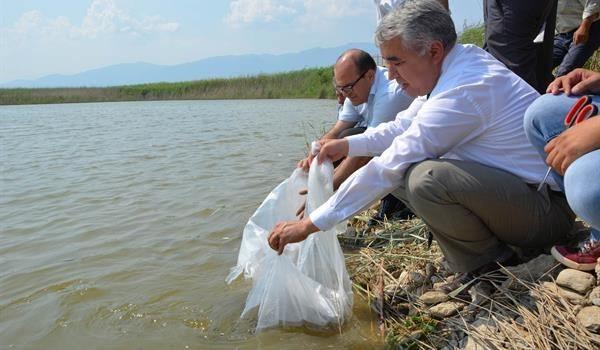 Aydın'da 15 Adet Tatlı Suya 172 Bin 500 Adet Yavru Sazan Bırakıldı