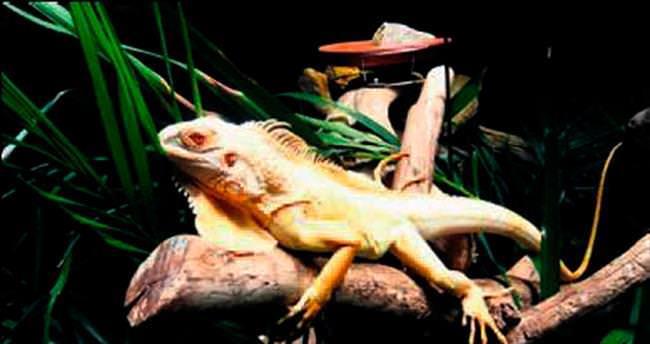 Avrupa'nın tek albino iguanası