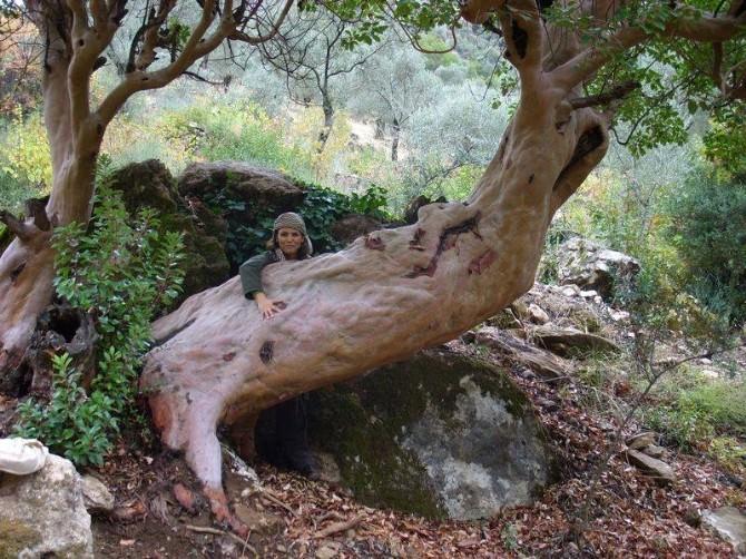 Kuşadası'ndaki 16 Ağacın Koruma Altına Alınması İsteniyor