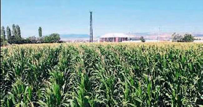 Balıkesir'de çiftçinin buğdayı yemlik oldu