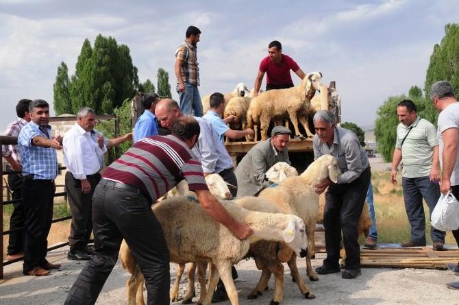 Van'da Çiftçilere Damızlık Koç Dağıtımı