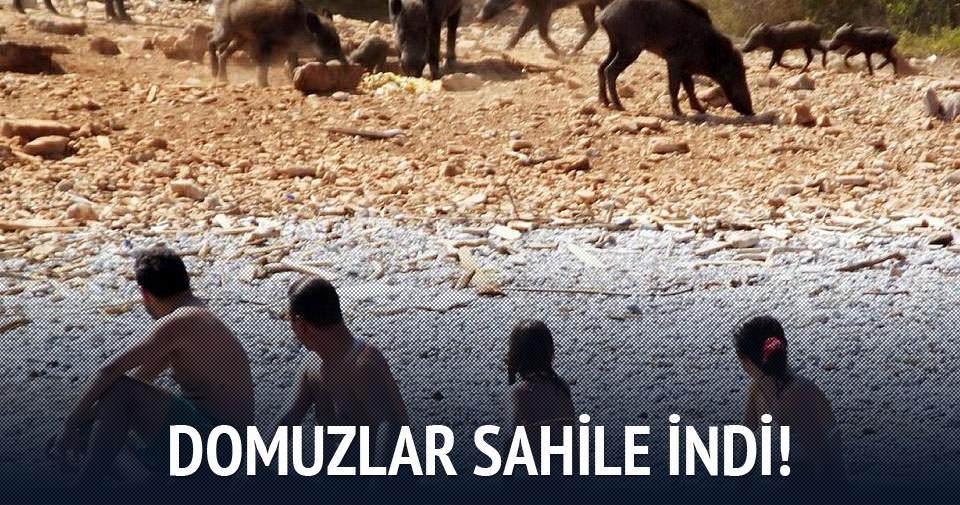 Domuzlar sahile indi
