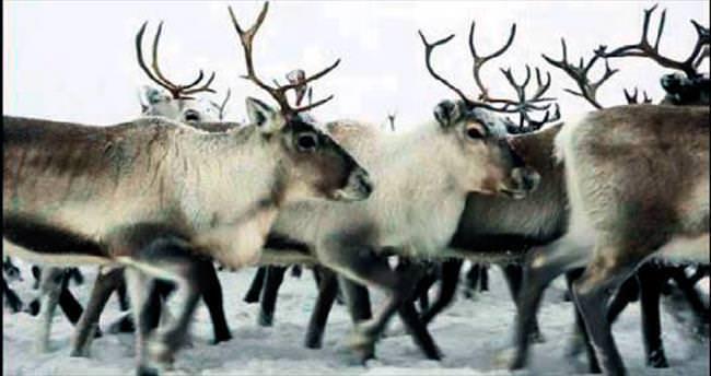 Noel Baba'nın ren geyikleri sıcaktan öldü