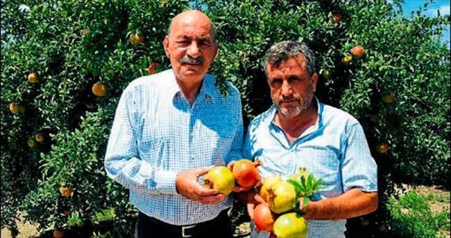 Tarsus'ta erkenci nar hasadı başladı