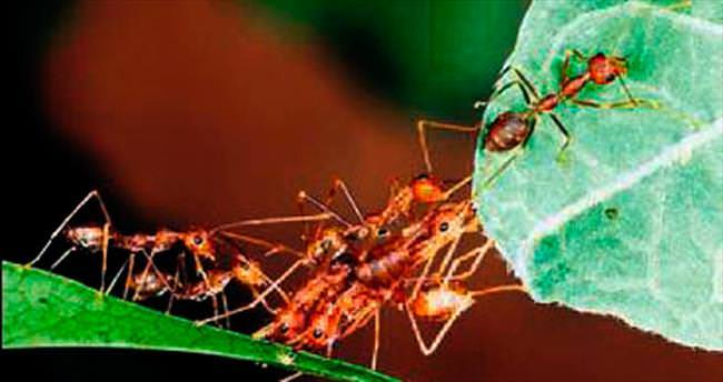 Büyük böceklere karşı karınca ordusu kurdular