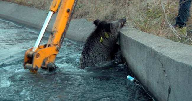 Kanala düşen domuz böyle kurtarıldı