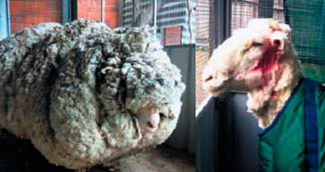 Koyun Chris kırpıldı 40 kilo yün çıktı