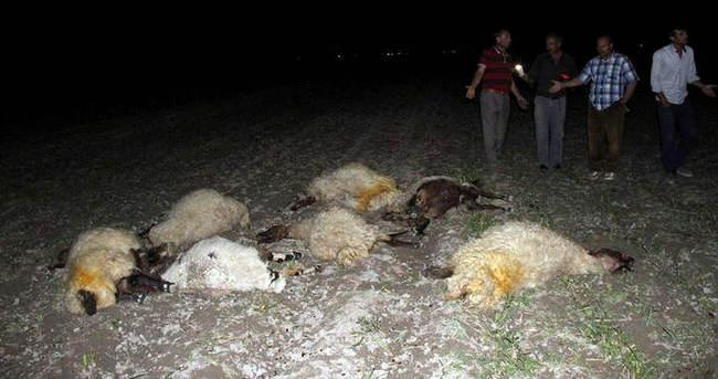 300 koyunu zehirleyip telef ettiler