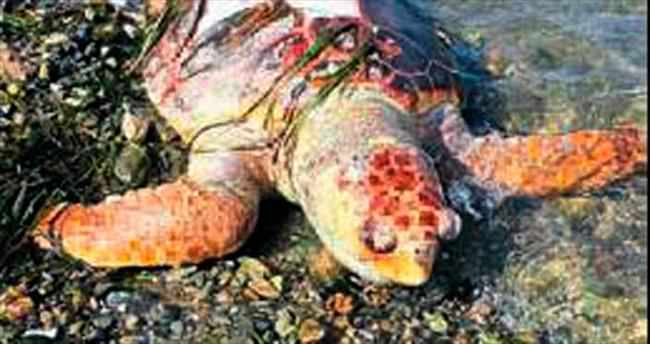 Ölü caretta caretta kıyıya vurdu