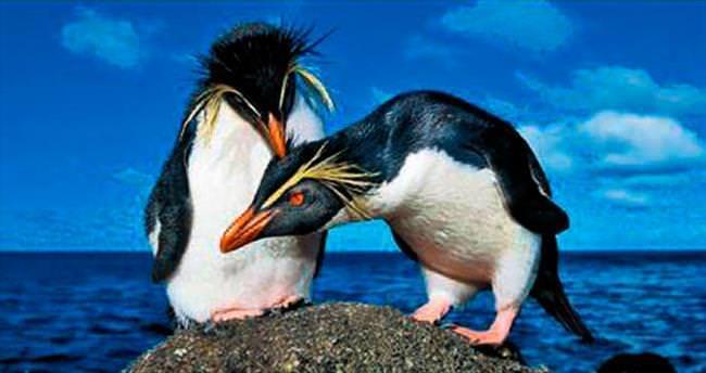 Tek eşli ve en sadık erkek penguenler