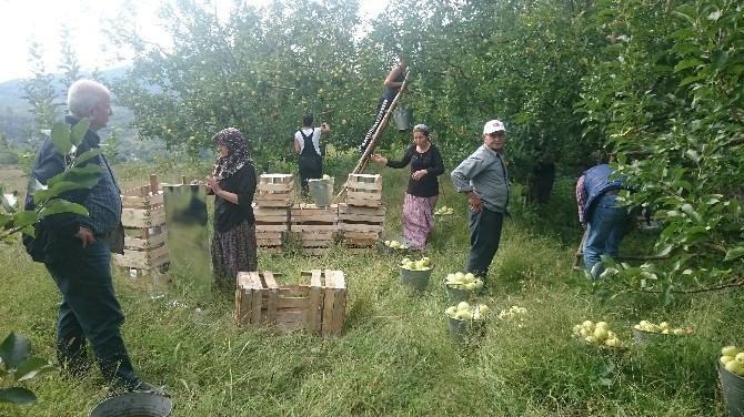 Kazdağlarında Elma İmecesi