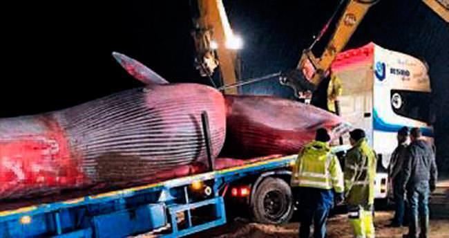 20 tonluk balinayı taşımak 6 saat sürdü