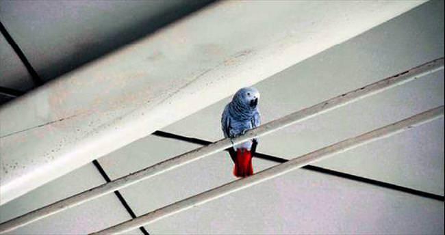 Havalimanında papağan seferberliği