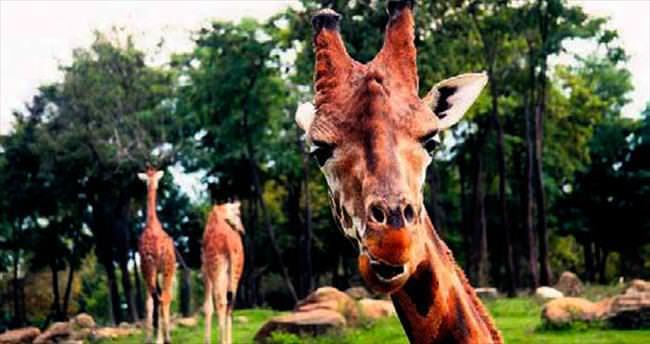 Zürafaların güneş banyosu keyfi