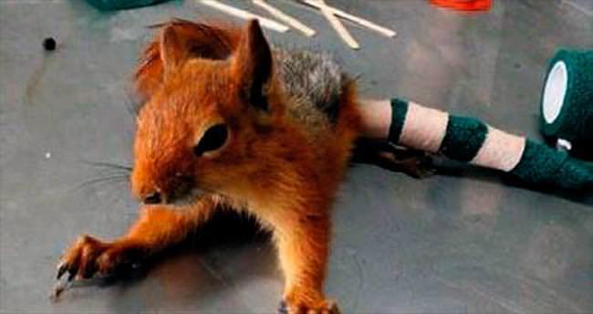 Bacağı kırılan sincaba tedavi
