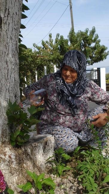Zeytin Ağacı Çınar Filizi Verdi