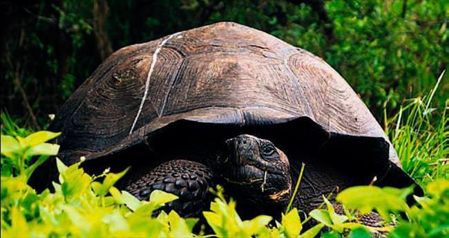 Galapagos'ta yeni kaplumbağa türü