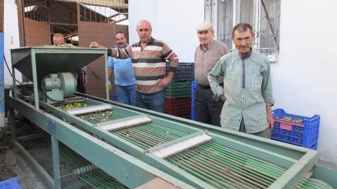 Zeytin Fiyatları Üreticiyi Sevindirdi