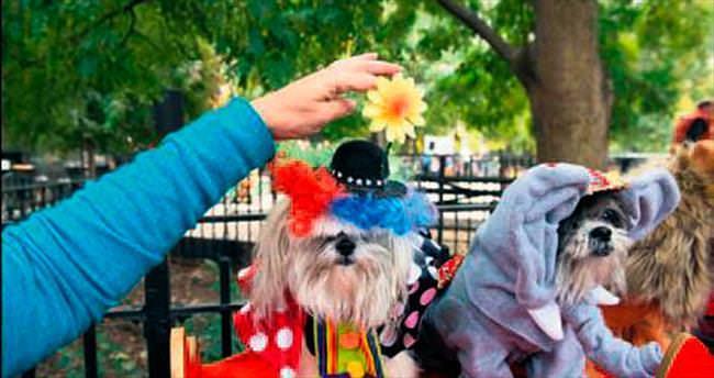 Köpekler 'Cadılar Bayramı' için giyindi