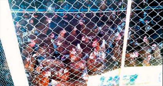 Ruhsatsız tavuk çiftliği mühürlendi