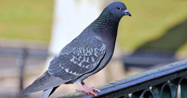 Güvercinler kanser tedavisinde umut oldu!